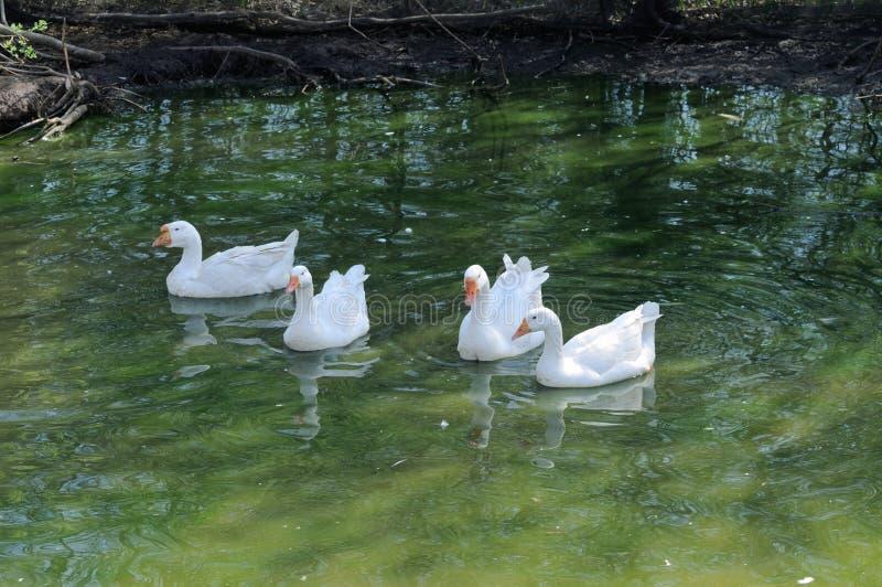 gooses λευκό στοκ φωτογραφία