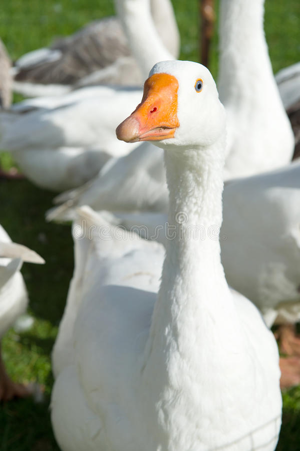 Download Gooses stock image. Image of anser, outdoor, birds, domesticus - 26917099