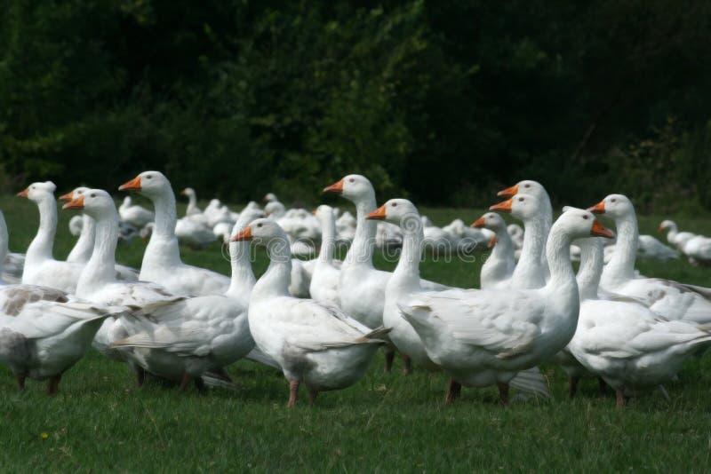 Gooses imagens de stock