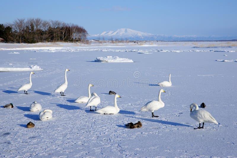 Gooses de la nieve imagen de archivo
