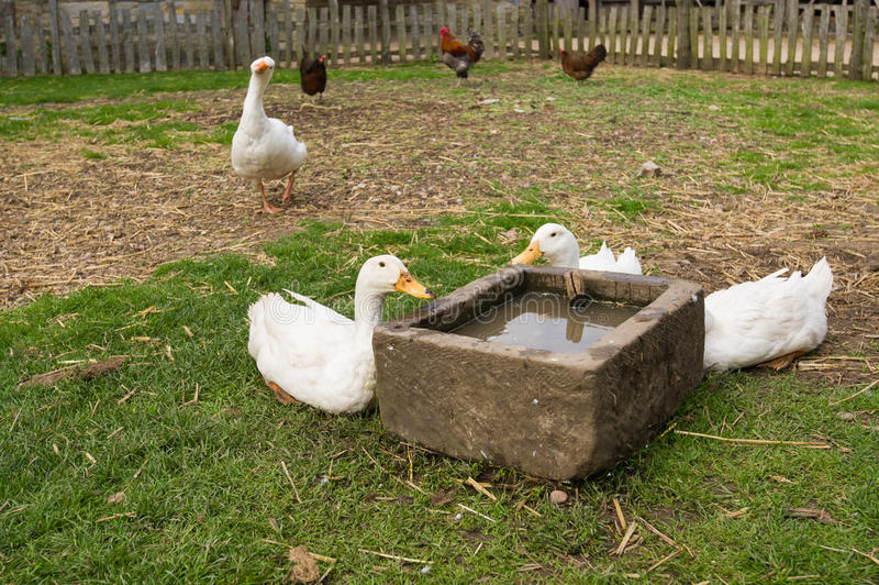 Gooses dricksvatten royaltyfri fotografi