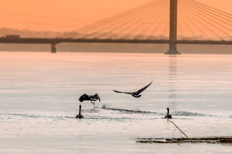 Gooses flyinf στο ηλιοβασίλεμα σε έναν ποταμό στοκ φωτογραφία