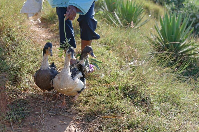Gooses i kaczki zdjęcia stock