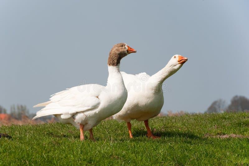 Download Gooses in landscape stock image. Image of grass, landscape - 14066137