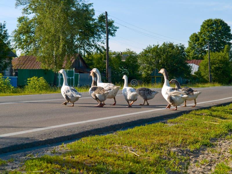 Gooses que cruza uma estrada imagens de stock royalty free