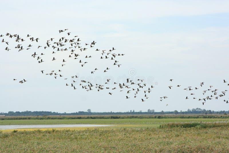 Download Gooses selvaggi immagine stock. Immagine di uccello, nave - 21162645