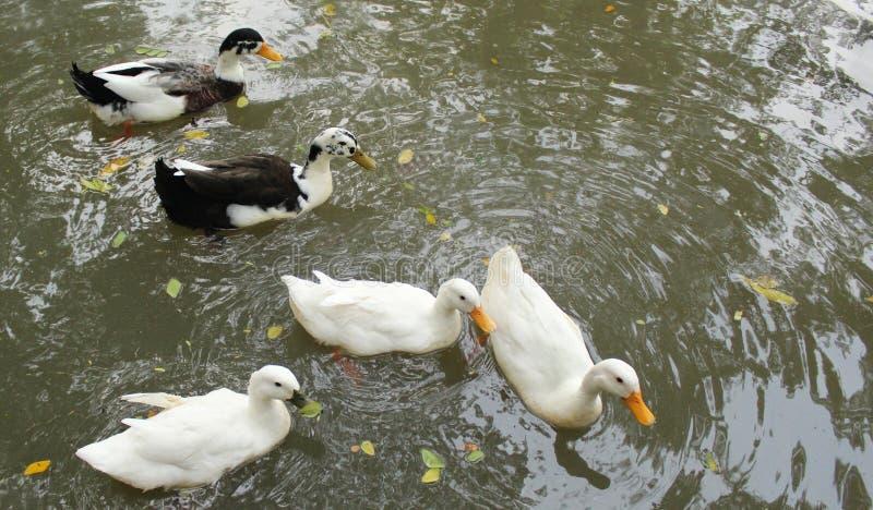 Gooses su uno stagno fotografia stock