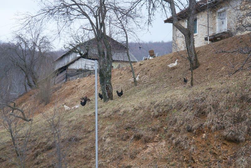 Gooses und Hennen läuft herauf die Steigung stockfotos