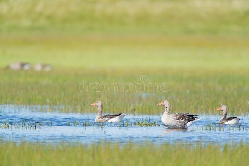 Gooses w wodzie fotografia stock