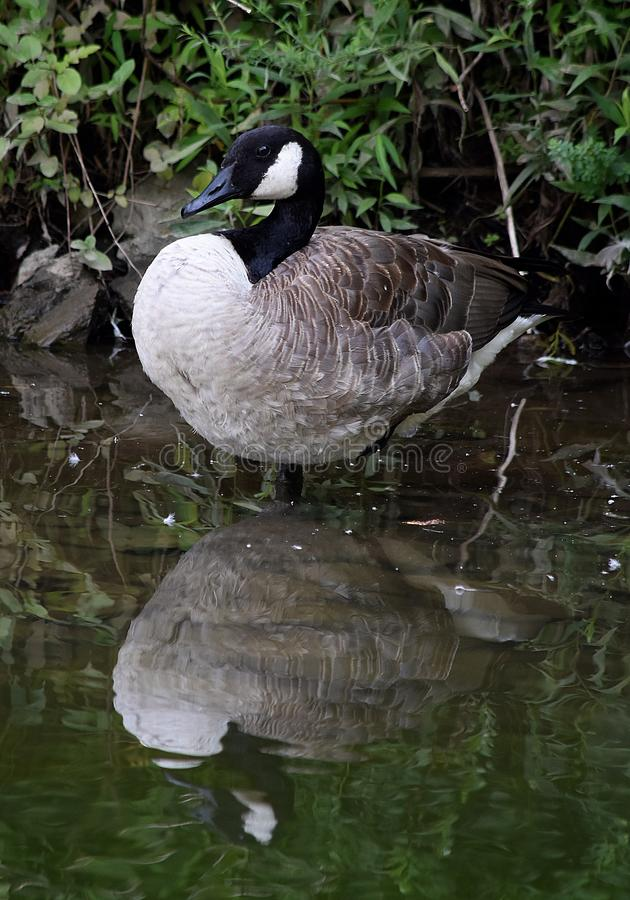 Goosey Reflection stock images
