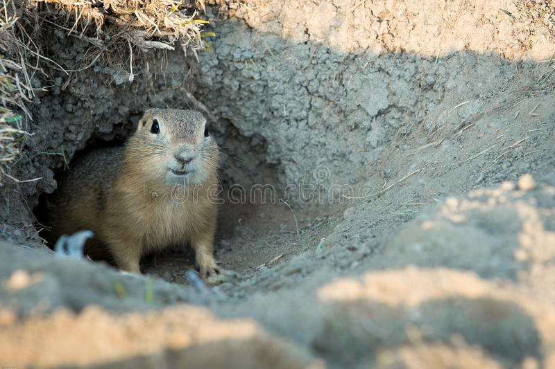 gopher stockfotos
