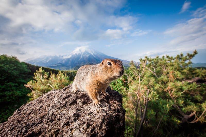 Gopher auf dem Hintergrund des Vulkans Plosky Tolbachik, Kamchatka lizenzfreies stockfoto