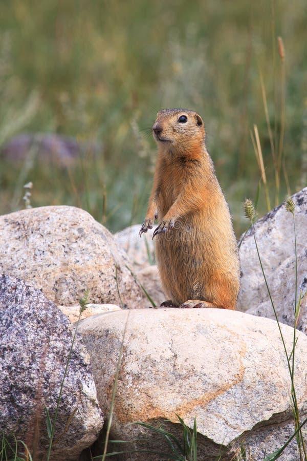 Gopher auf einem Stein in einem Gras lizenzfreies stockbild