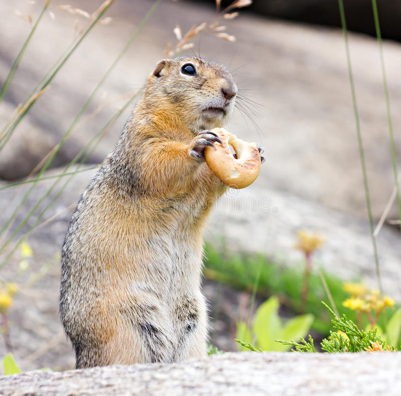 Download Gopher with bagel stock photo. Image of curious, sitting - 32324364