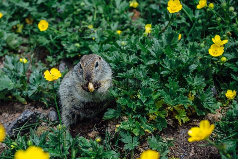 Gopher, der Plätzchen im Gras und in den gelben Blumen isst stockbilder