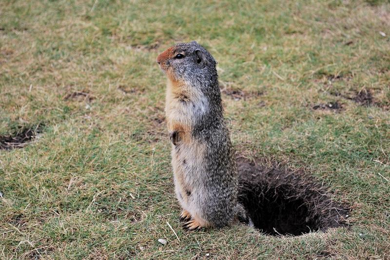 Download Gopher On Duty Royalty Free Stock Photography - Image: 33714607