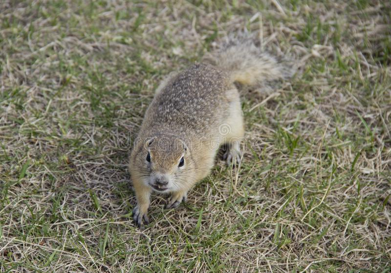 Hungry gophers are attacking and are aggressive. Gopher genus  rodents of the squirrel family. Hungry gophers are attacking and are aggressive stock photo