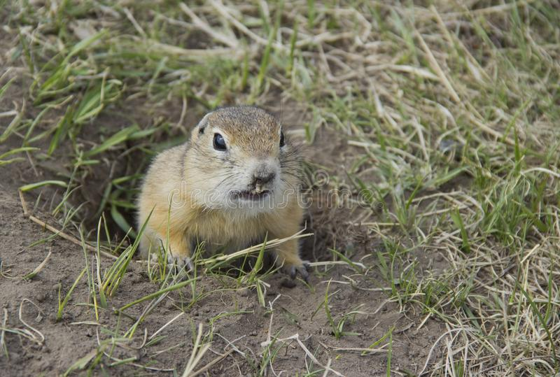 Hungry gophers are attacking and are aggressive. Gopher genus  rodents of the squirrel family. Hungry gophers are attacking and are aggressive royalty free stock images