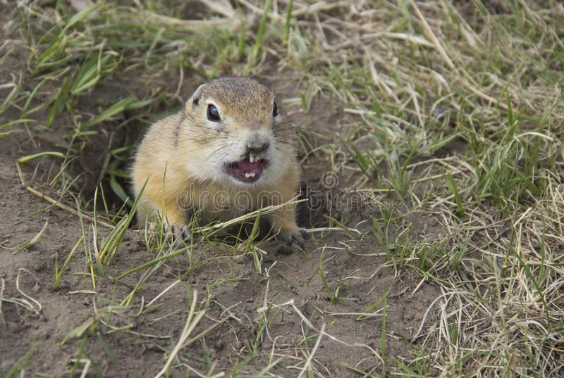 Hungry gophers are attacking and are aggressive. Gopher genus  rodents of the squirrel family. Hungry gophers are attacking and are aggressive stock image