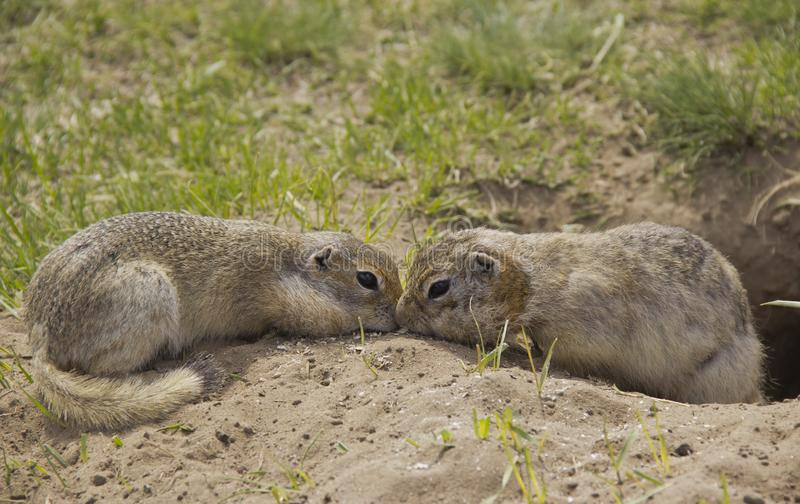 Two gophers eat food near the burrow. Gopher genus  rodents of the squirrel family. Two gophers eat food near the burrow royalty free stock photo