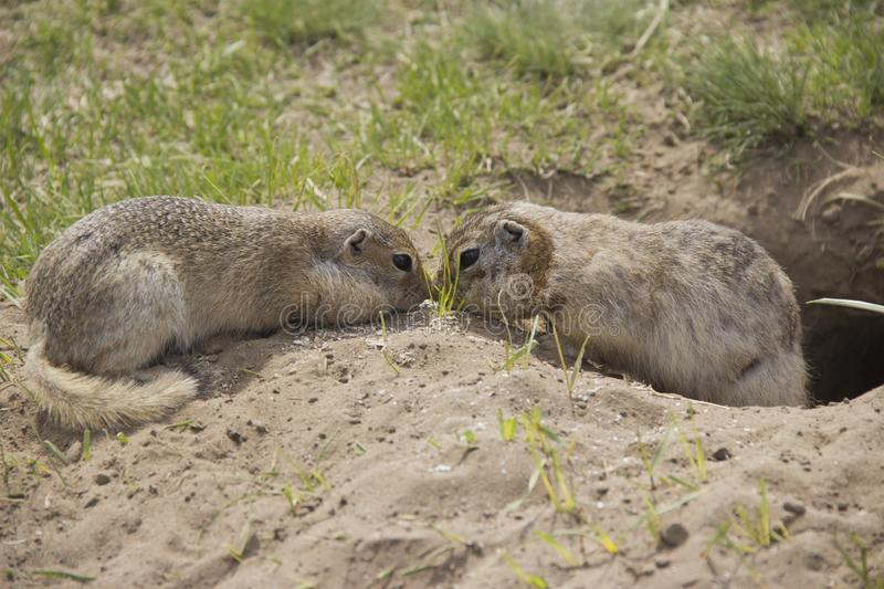 Two gophers eat food near the burrow. Gopher genus  rodents of the squirrel family. Two gophers eat food near the burrow stock images