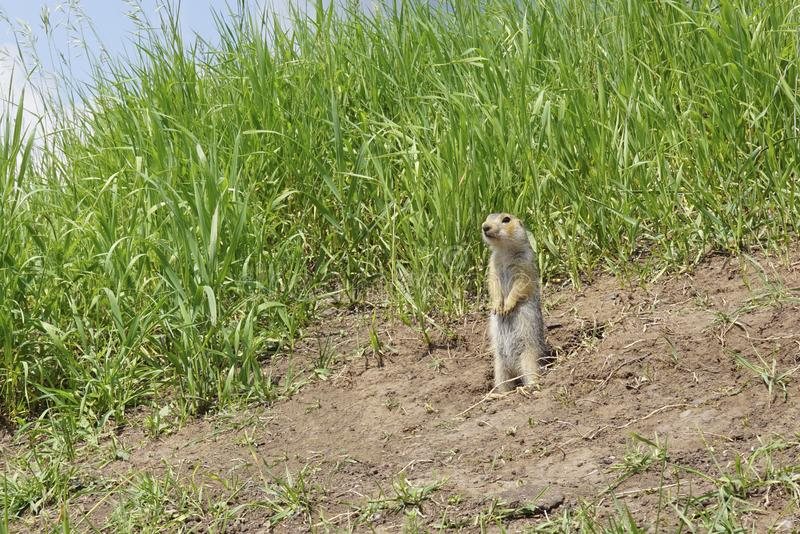 The gopher on Guard, animals in the wild nature. The gophers climbed out of the hole on the lawn , the furry cute gophers sitting. On a green meadow in sunny stock images