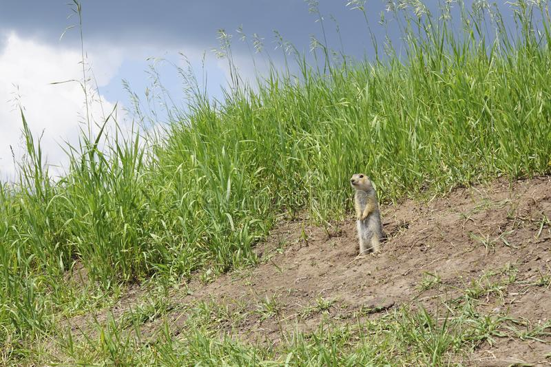 The gopher on Guard, animals in the wild nature. The gophers climbed out of the hole on the lawn , the furry cute gophers sitting. On a green meadow in sunny stock photography