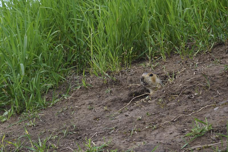 The gopher on Guard, animals in the wild nature. The gophers climbed out of the hole on the lawn , the furry cute gophers sitting. On a green meadow in sunny stock image