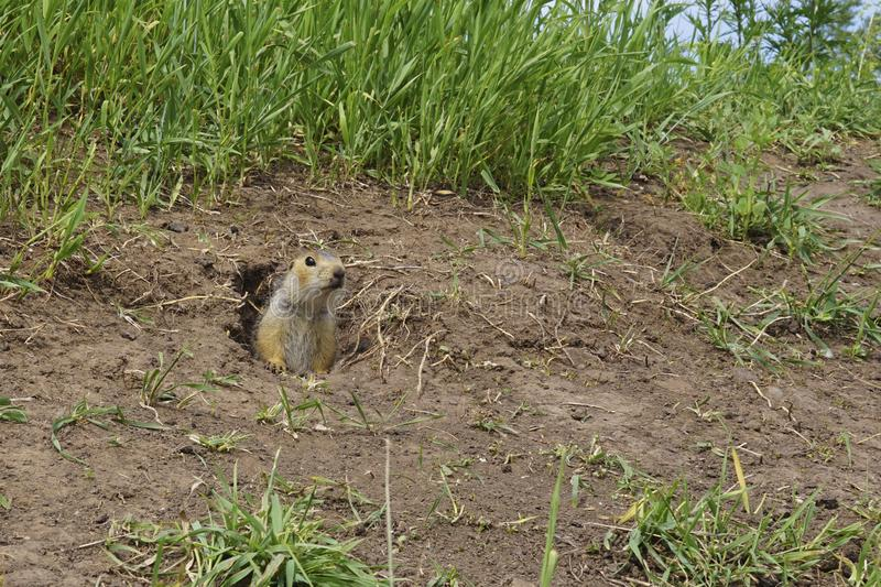 The gopher on Guard, animals in the wild nature. The gophers climbed out of the hole on the lawn , the furry cute gophers sitting. On a green meadow in sunny royalty free stock photo