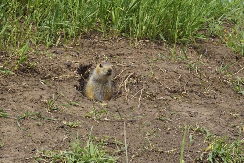 The gopher on Guard, animals in the wild nature. The gophers climbed out of the hole on the lawn , the furry cute gophers sitting. On a green meadow in sunny royalty free stock image