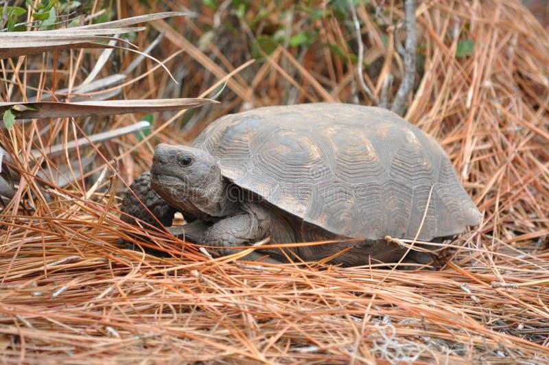 gopher igieł sosny tortoise obraz stock