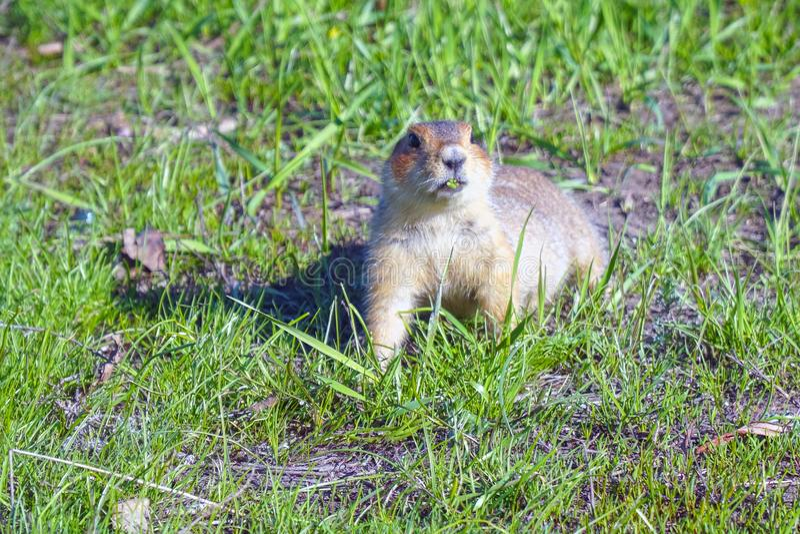 Gopher isst Gras nach Winterschlaf lizenzfreie stockbilder