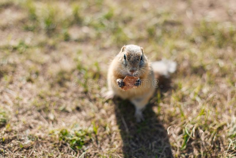 Gopher isst Plätzchen in der Grasnahaufnahme stockfoto