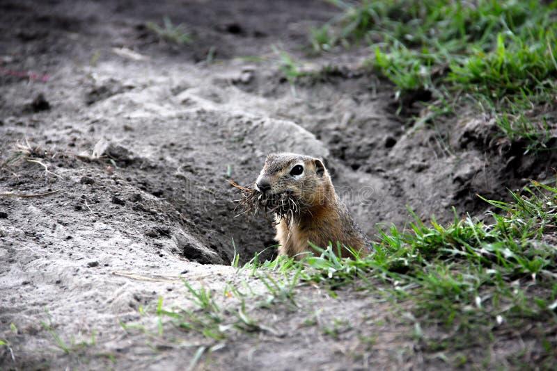 Gopher op het gebied, een bobak, gemalen eekhoorn, houdt gras royalty-vrije stock afbeeldingen