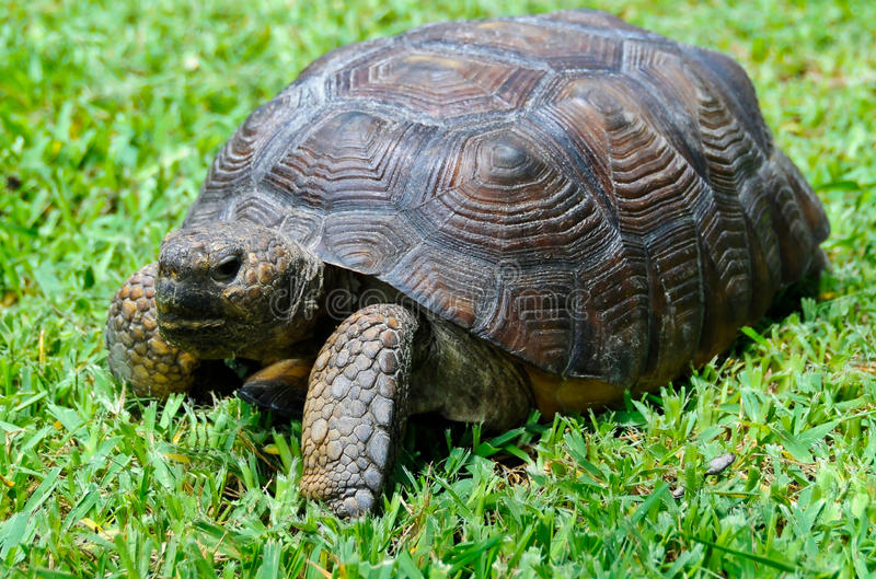 Gopher-Schildkröte lizenzfreies stockfoto