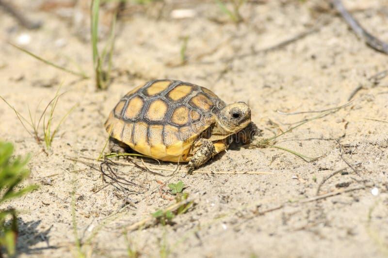 Gopher-Schildkröte (Gopherus polyphemus) lizenzfreie stockfotografie