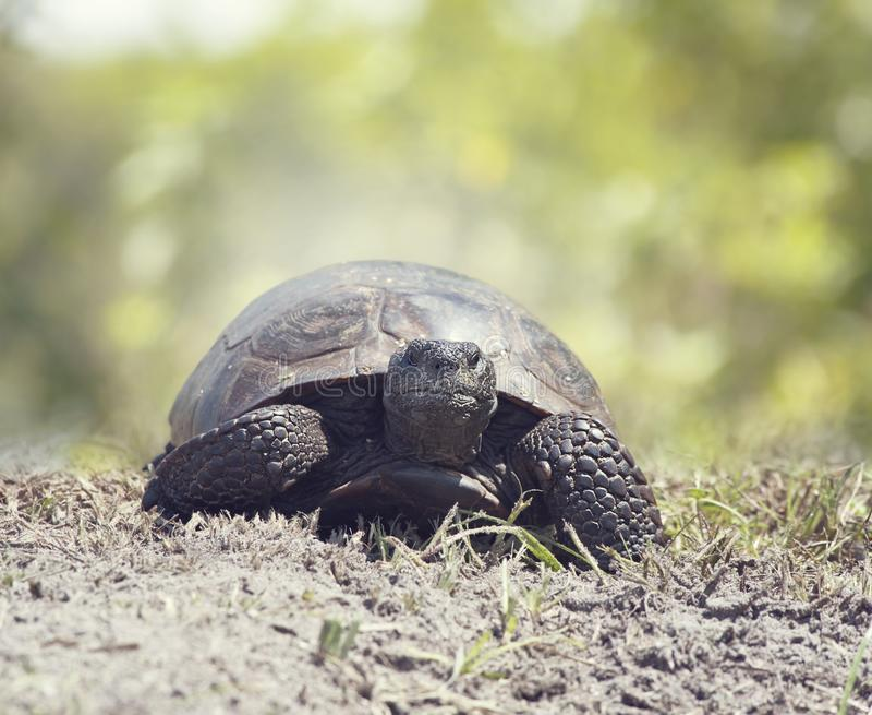 Gopher-Schildkrötengehen lizenzfreies stockbild