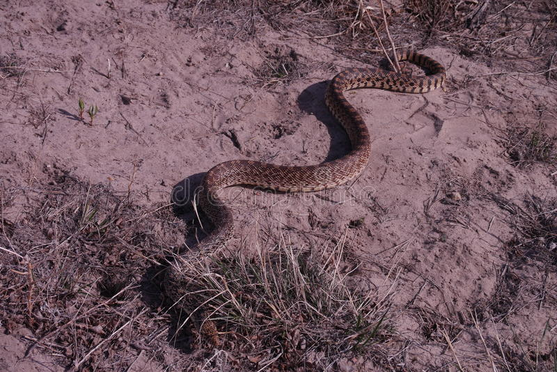 Gopher Snake (Pituophis catenifer). Pituophis is a genus of nonvenomous colubrid snakes commonly referred to as gopher snakes, pine snakes, and bull snakes royalty free stock photo