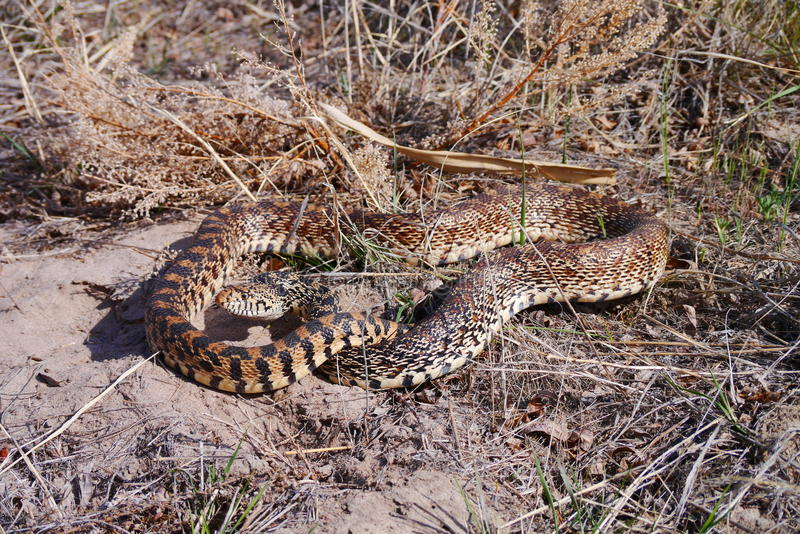 Gopher Snake (Pituophis catenifer). Pituophis is a genus of nonvenomous colubrid snakes commonly referred to as gopher snakes, pine snakes, and bull snakes stock photo