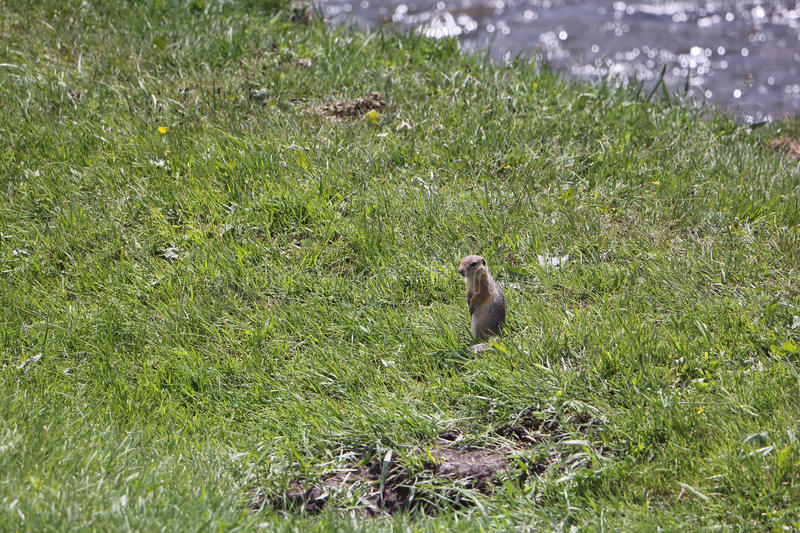 The gopher standing on the riverbank. In the grass royalty free stock photography