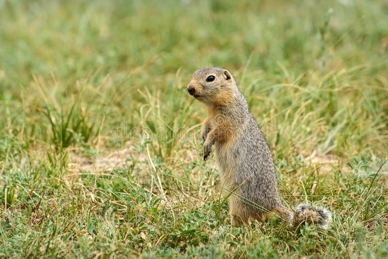 Gopher stands grass steppe rodent royalty free stock photo