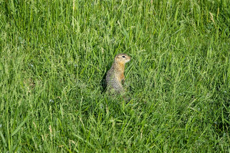 Gopher stands in the grass. Summer stock images