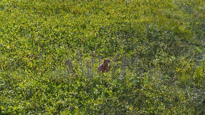 Gopher steht auf Hinterbeinen im Gras stockbilder