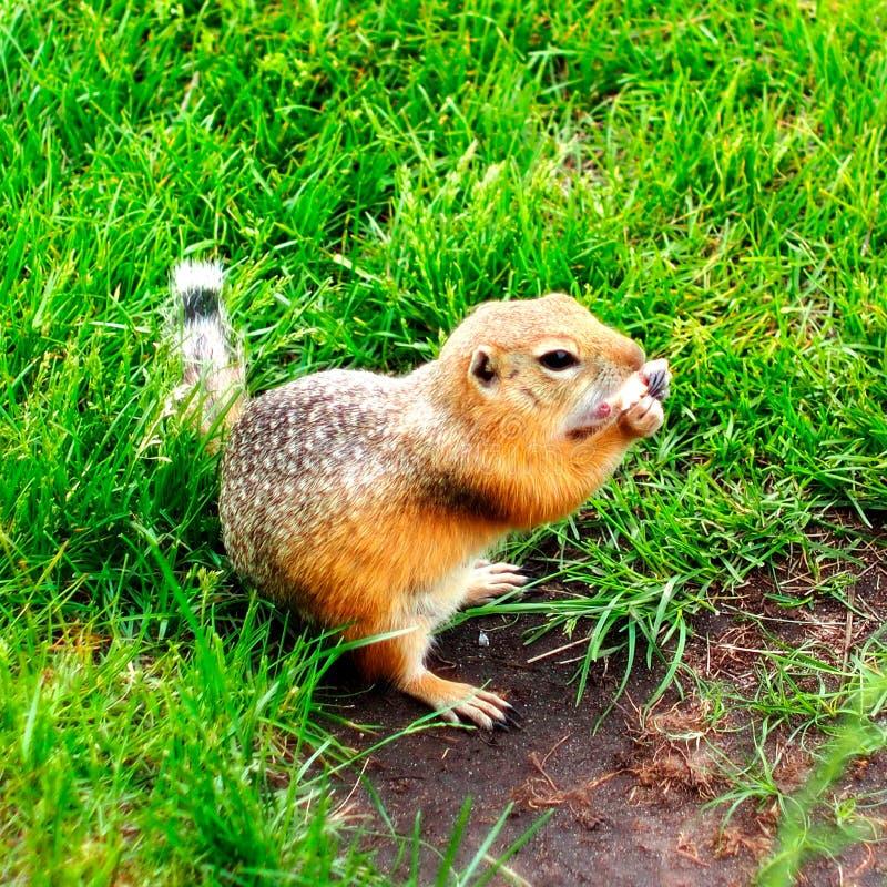 gopher Taschenrattenahaufnahme Junger Gopher auf dem Gras stockbild