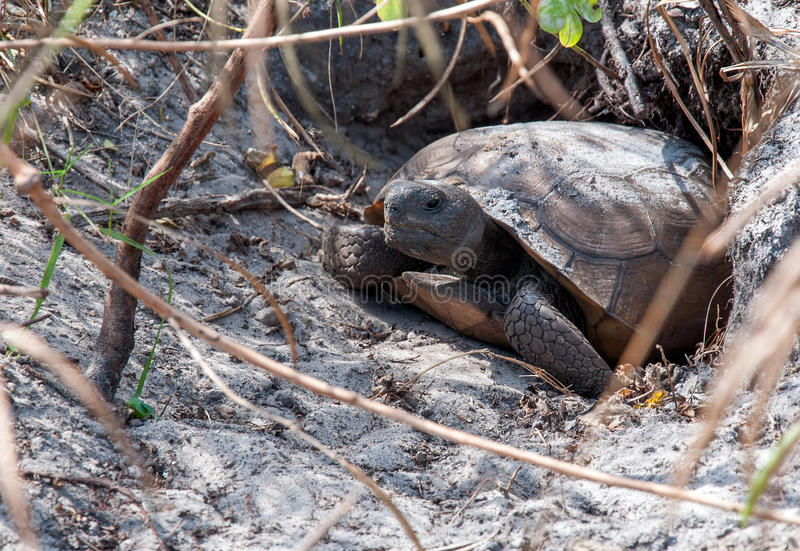 Gopher Tortoise. Coming out of hole royalty free stock photography