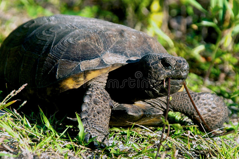 Gopher Tortoise Eating Stock Photos