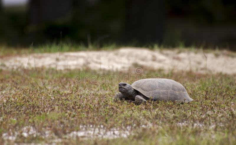 Gopher Tortoise foraging at Reed Bingham State Park Georgia. Reed Bingham is a Georgia State Park in Colquitt County and Cook County. Gopher tortoises are royalty free stock image