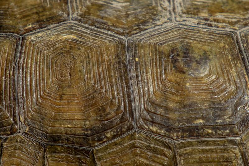 Gopher tortoise shell royalty free stock images