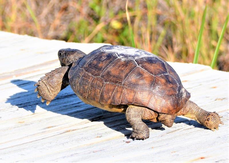 Gopher tortoise szybko cofa się z powrotem jej niedaleki tunel gdy słucha potencjalnego drapieżnika fotografia royalty free