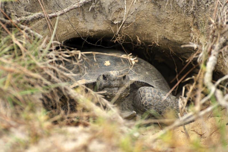 Gopher Tortoise w norze przy Trzcinowym Bingham stanu parkiem Gruzja fotografia royalty free